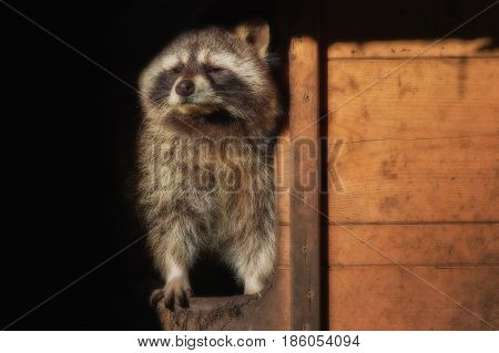 A little raccon looks out of his house