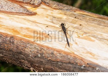 Little dragon fly on a piece of wood
