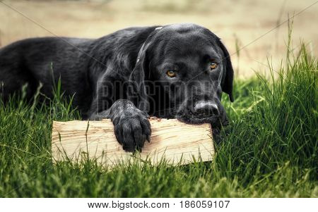 Black labrador retriever lying on gras with a pice of wood