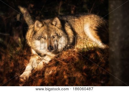 Lying wolf on foliage looking at the camera