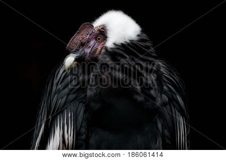 An Anden Condor with a black background