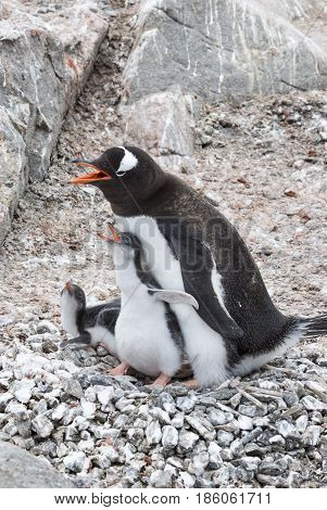 Adult Gentoo penguiN with chick on the nest in Antarctica