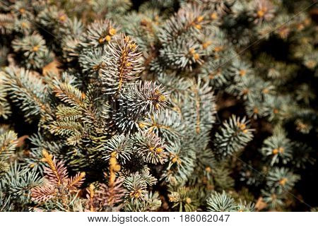 Fir tree branches in the daylight blurry background. Conifer tree needles in the forest close-up. Blue spruce texture in shallow focus backdrop