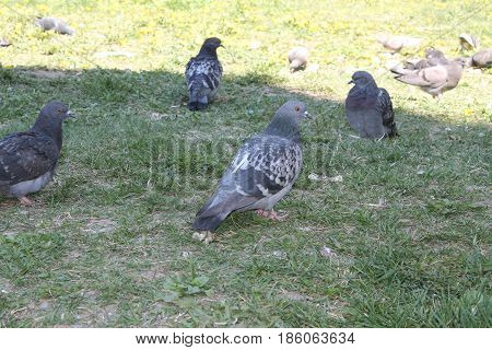 Hungry pigeons bird swarming the loaf of bread and eat get rid of it in a few seconds.