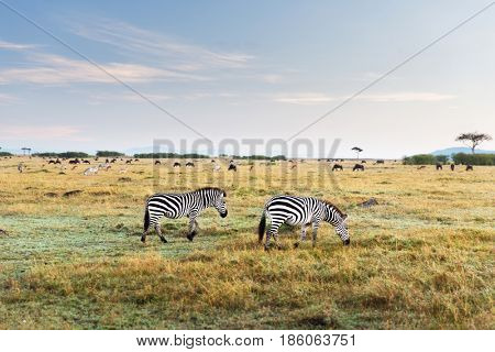 animal, nature and wildlife concept - zebras and other herbivores grazing in maasai mara national reserve savannah at africa