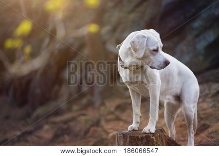 young cute white labrador retriever dog puppy in the forest looking shy to the side