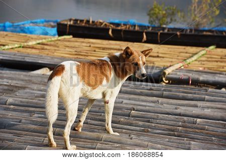 the brown vagrant dog is standing on a floating house