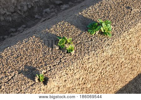 close on potato seedling on the groove of field
