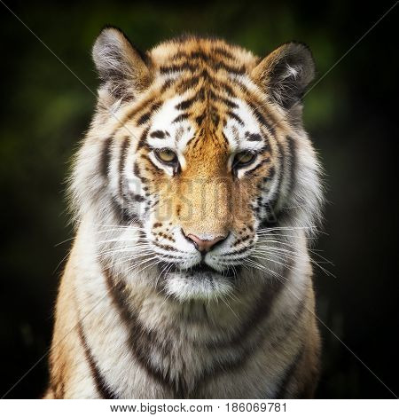 Portrait of a young Siberian tiger, otherwise known as the Amur Tiger. This tiger is indigenous to far eastern Russia.