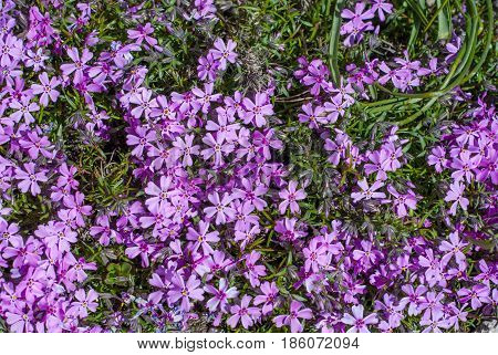 Wild Lawn Flowers Close Up