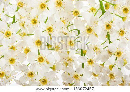 A background flowers bird cherry