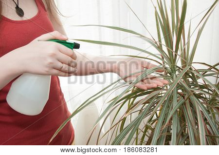 Woman caring for house plant. Fresh air in the house, ecology, air enrichment plants.