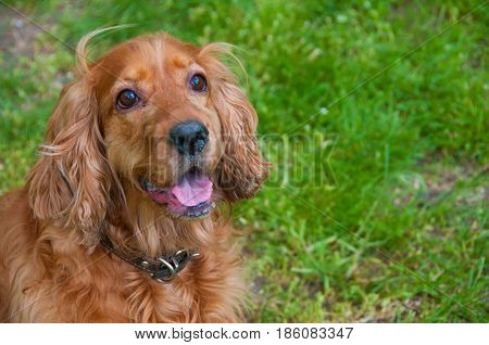 Portrait of a beautiful english cocker spaniel