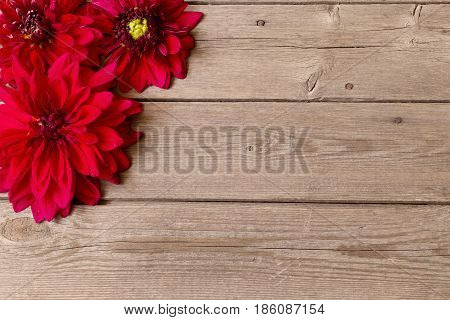 the red dahlia on old  wooden background