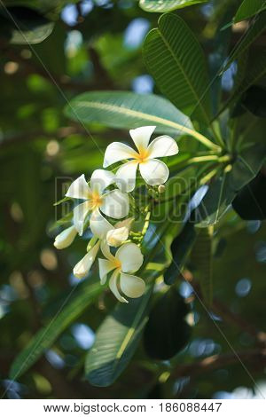 Close up shot of Frangipani flowers troppical flower