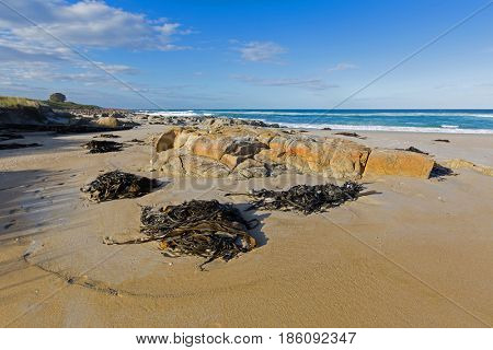 Many huge Bull kelp (Bullwhip kelp) washed ashore on Four Mile Creek beach in Tasmania, Australia