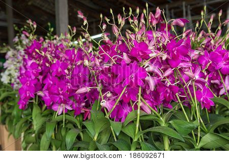 Purple orchids Violet orchids. Orchid is queen of flowers. Orchid in tropical garden. Orchid in nature scarlet white yellow