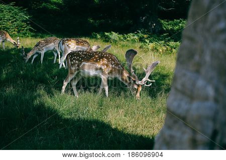 Close up of Fallow deer in Bradgate Park, Leicestershire on a sunny summer day