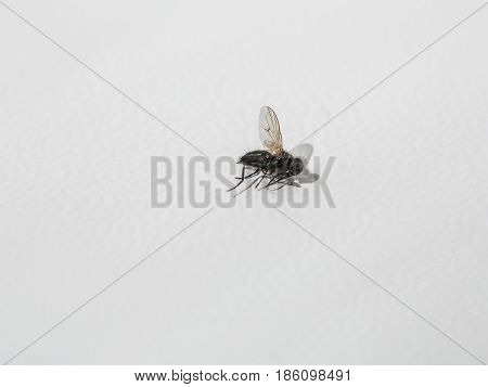 Ugly dead fly dried insect small animal with flying wings on white background. Preservation. Specimen or souvenir. Wildlife study copy space
