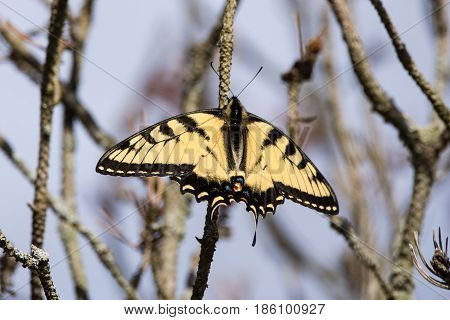 An Eastern Tiger Swallowtail butterfly perched on a branch of a tree.
