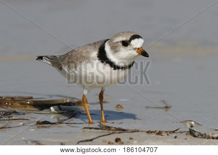 An endangered Piping Plover in breeding plumage at the shoreline on a beach in Florida