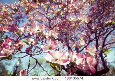 Background of a blooming pink dogwood.  many pink flowers in the spring. retro style.  Copy space for your text