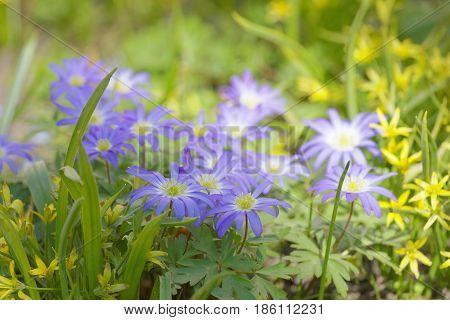 Beautiful blue Common pasque flowers short depth of focus