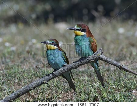 European bee-eaters resting on a branch in their habitat