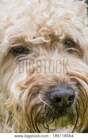 Irish soft coated wheaten terrier white and brown fur dog portrait