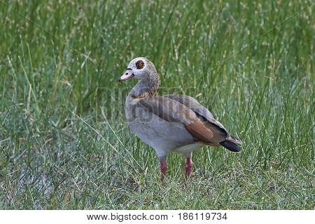 Egyptian goose standing in grass in its habitat