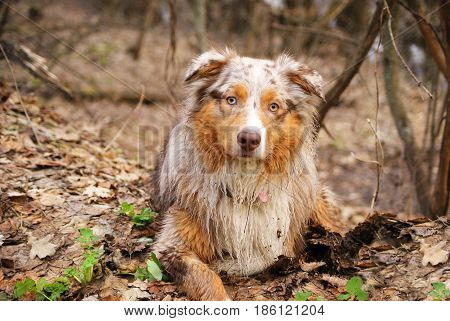 Pedigree stately dog walks in the woods. Australian shepherd, Aussie.