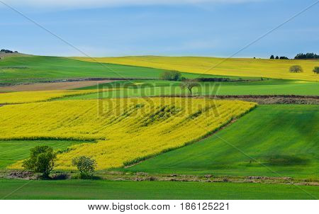 Portuguese Rustic Landscape with Green Grass and Yellow Flowers Fields and Olive Trees on Blue Sky Horizon in Sunny Day Outdoors