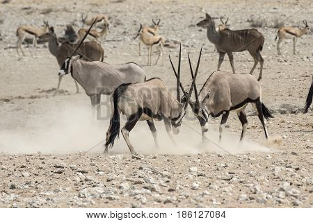 Antelops Fighting In  The Etosha National Park
