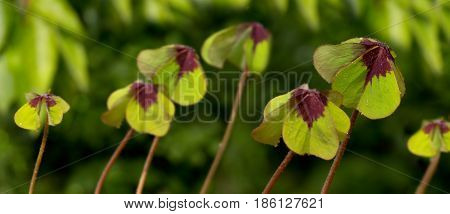 Nature background with clover leaves.Green clover leaves isolated on green background.