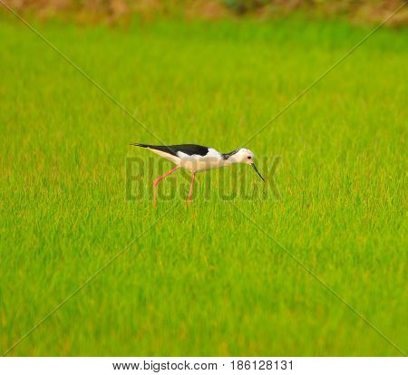 The bird Vanellus indicus is feeding in the fields.