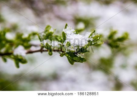 snow in spring 11 May 2017 Belarus