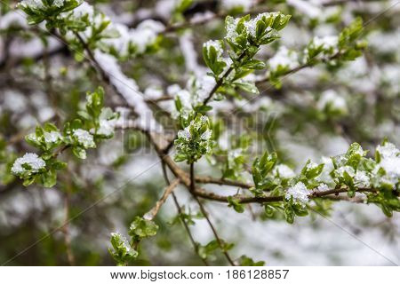 anomalous spring in Belarus snow fell in May 2017