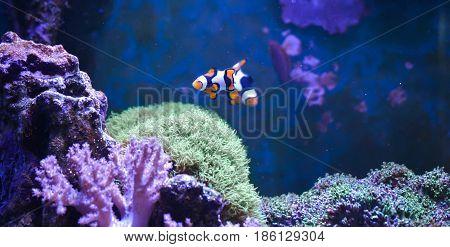 Reef tank, marine aquarium. Blue aquarium full of plants. Tank filled with water for keeping live underwater animals. Zoanthus. Zebra apogon. Zebrasoma. Percula.
