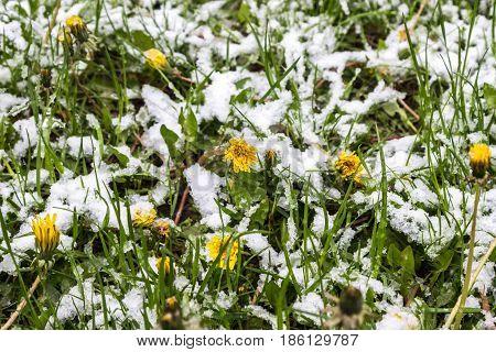 snow in spring dandelions in snow 11.05.2017 Minsk Belarus