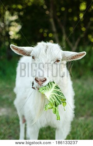 Goatson a green lawn at summer. white goat on the grass eating a Cabbage leaf in pasture.