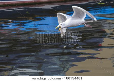 European Herring Gull (Larus argentatus) adult in flight above water of a Town Canal eating a piece of Bread