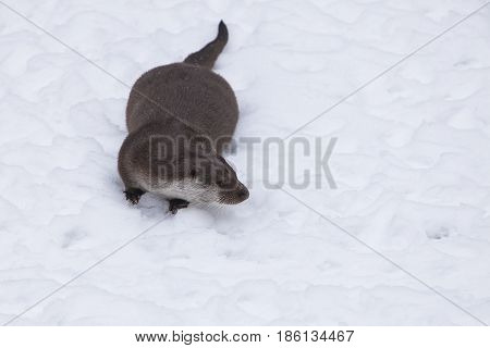 European Otter (Lutra lutra) standing in Snow in a Forest