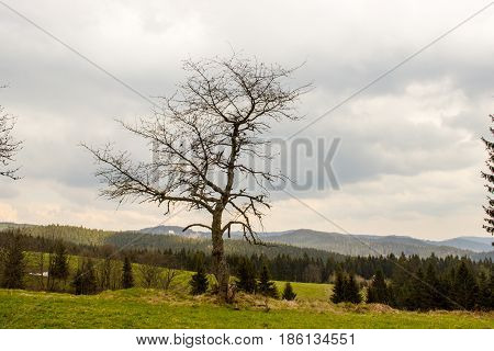 A single tree covered with lichens. In the foreground is grass. In the background are mountains Beskydy.
