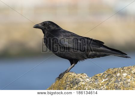Carrion Crow (Corvus corone) adult standing on a Pier in a Harbour