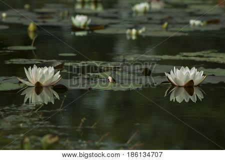 White Nymphaea Hardy Waterlily in the pond