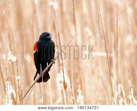 Red wing blackbird on a bright spring day