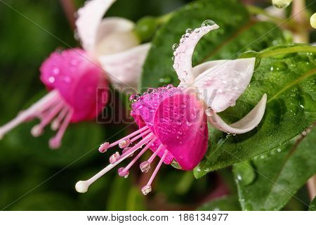 Beautiful blooming Fuchsia Krommenie flower on leaf background