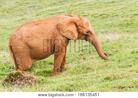 Elephant on a green grass. An elephant on a gentle with a grass