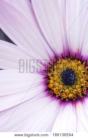 Beautiful white osteospermum with dark pink lilac and yellow colors in the middle close up macro selective focus