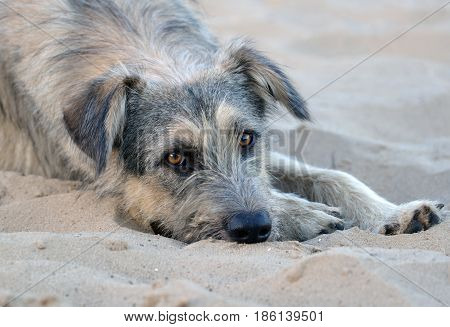 A lone stray dog lies on the sand on a deserted beach